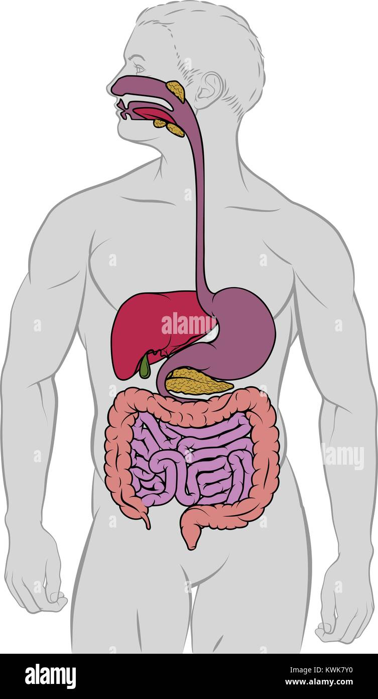 hight resolution of gastrointestinal digestive tract anatomy diagram