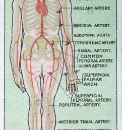 vintage first aid illustrations diagram showing course of the arteries [ 688 x 1390 Pixel ]