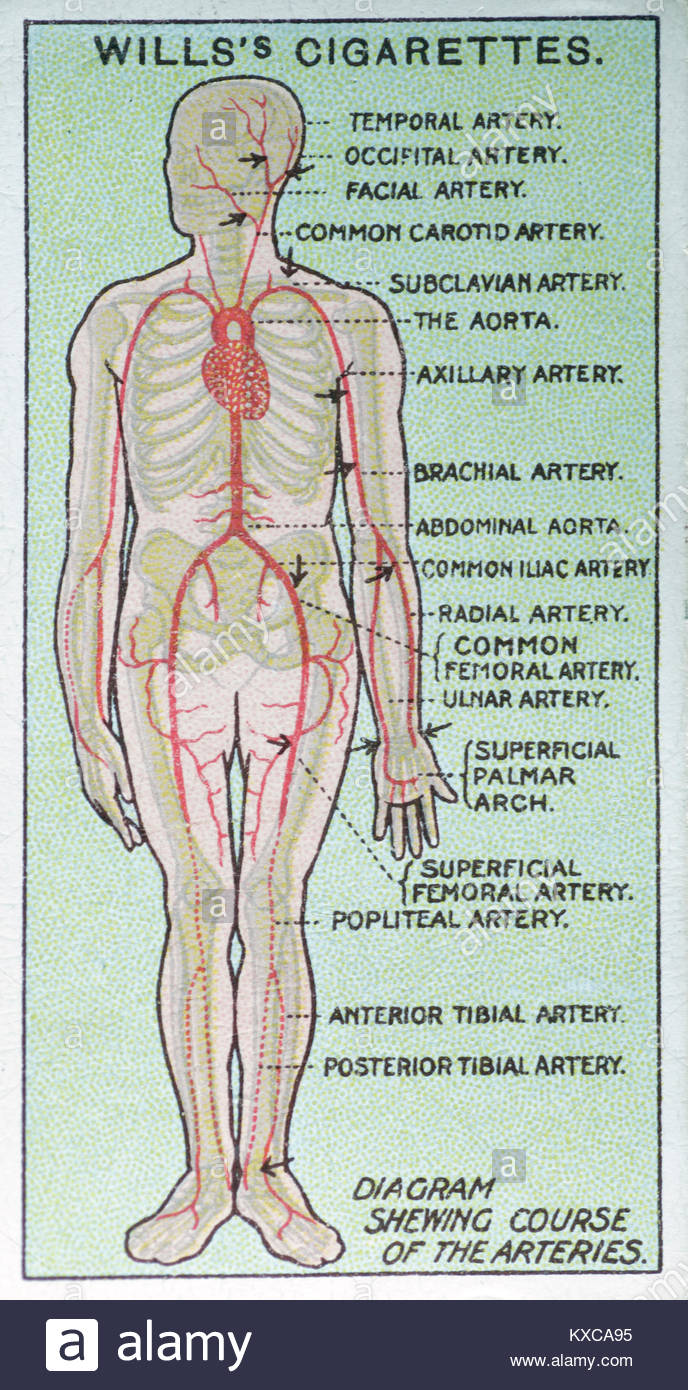 medium resolution of vintage first aid illustrations diagram showing course of the arteries