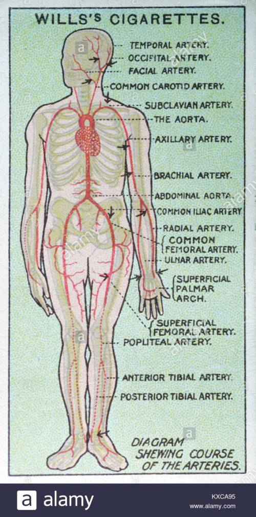 small resolution of vintage first aid illustrations diagram showing course of the arteries