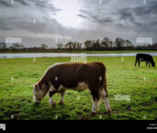 Cows Grazing In The Open Flooded Field Around Peterborough In The United Kingdom Stock Image