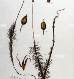 polytrichum commune flora batava volume v8 stock image [ 946 x 1390 Pixel ]