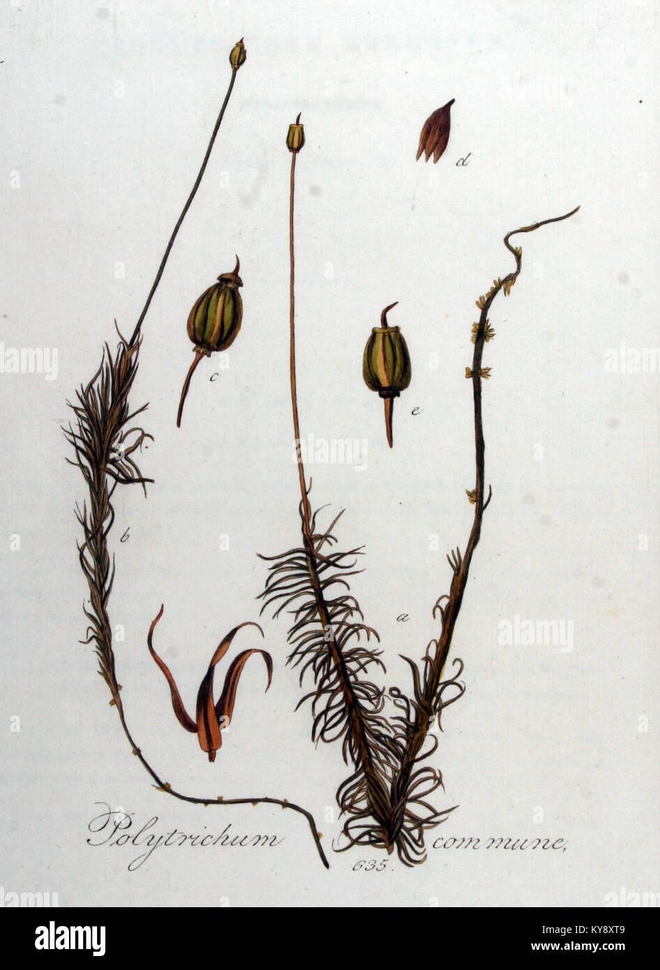 hight resolution of polytrichum commune flora batava volume v8 stock image