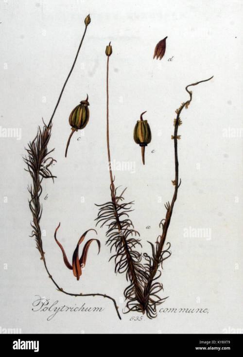 small resolution of polytrichum commune flora batava volume v8 stock image