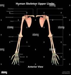 human skeleton system upper limbs label design anterior view anatomy [ 1300 x 1325 Pixel ]