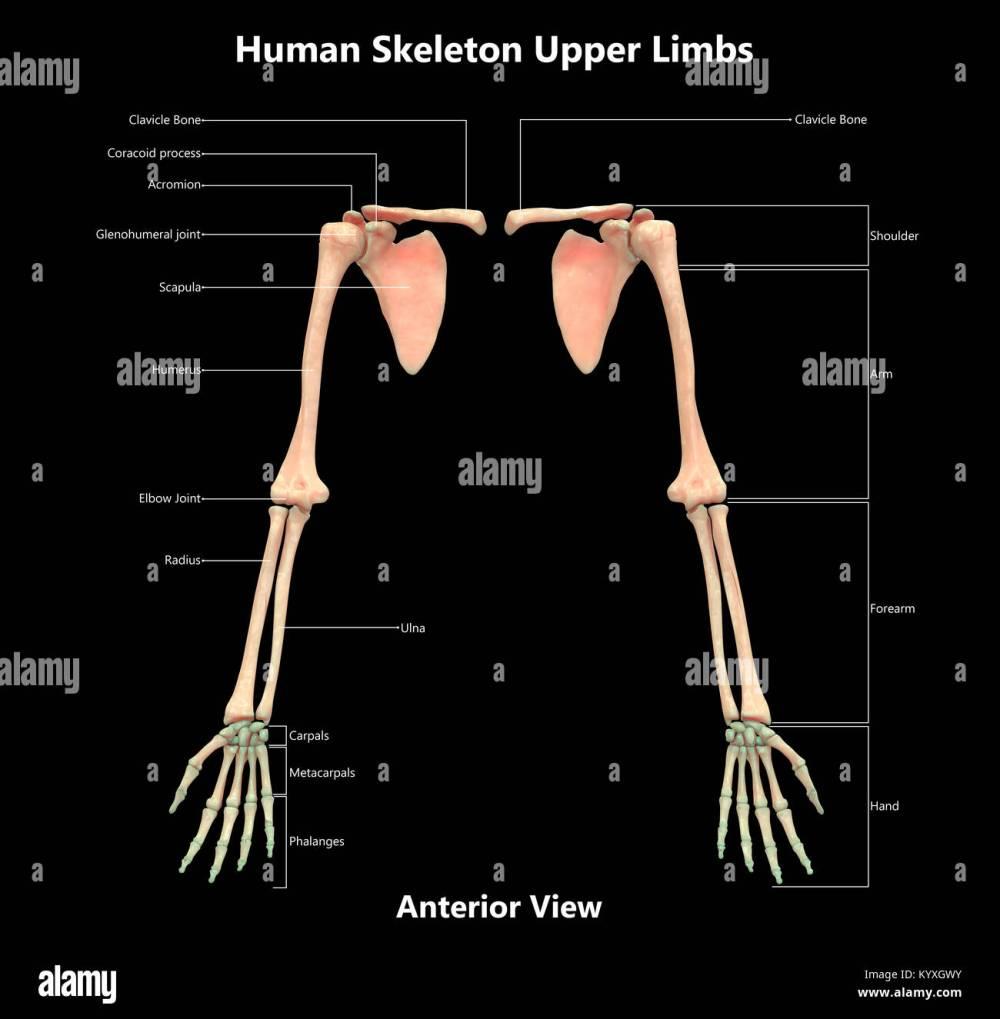 medium resolution of human skeleton system upper limbs label design anterior view anatomy
