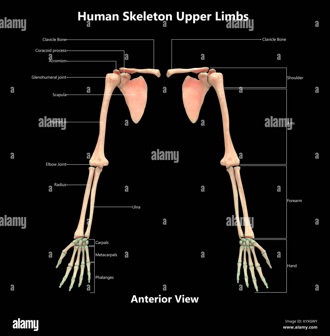 hight resolution of human skeleton system upper limbs label design anterior view anatomy
