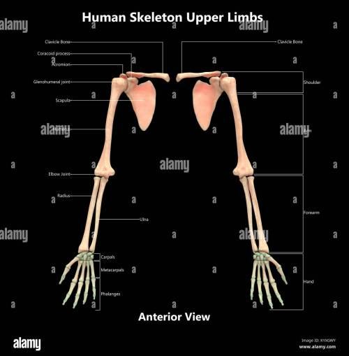small resolution of human skeleton system upper limbs label design anterior view anatomy
