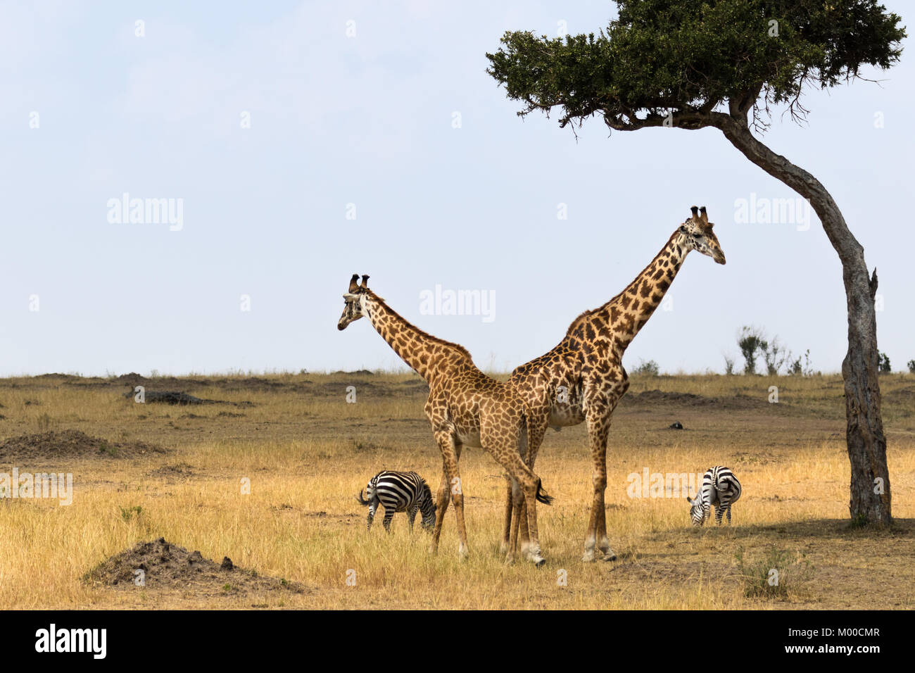 Two Male Giraffes Rest Under An Acacia Tree Whilst A Pair