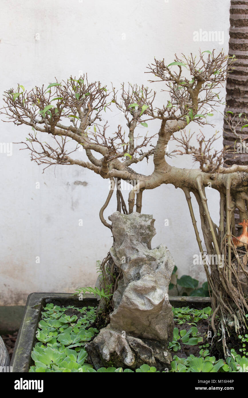 Bonsai Vietnam : bonsai, vietnam, Beautiful, Bonsai, Vietnam, Visible, Roots, Stock, Photo, Alamy