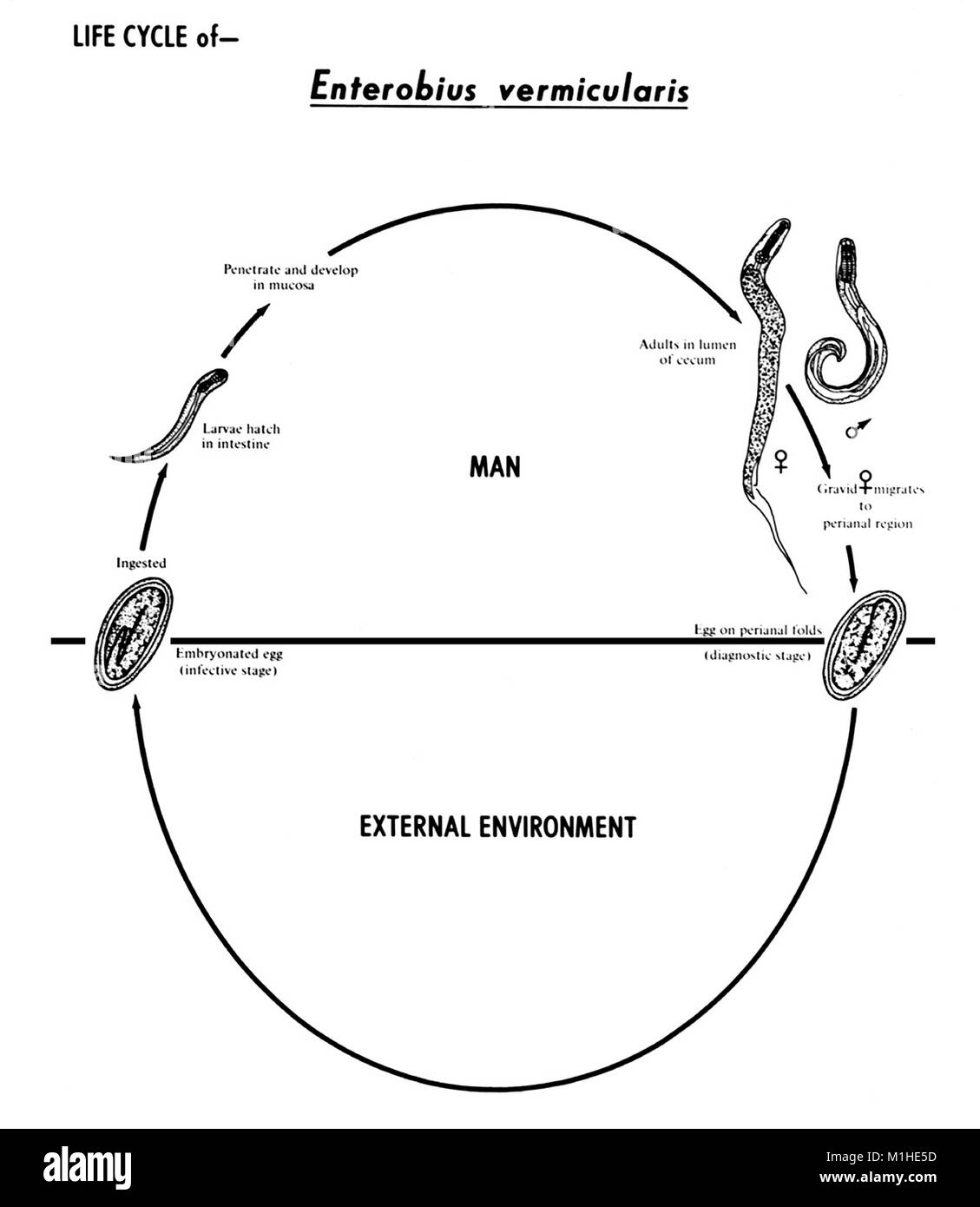 human life cycle stages diagram magnetic door lock wiring pinworm nematode enterobius vermicularis various in the illustrated 1982 image courtesy centers for disease control cdc