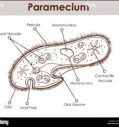 the structure of paramecium saudatum stock image [ 1300 x 1233 Pixel ]