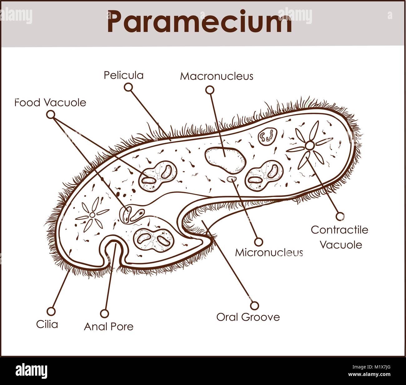 hight resolution of the structure of paramecium saudatum stock image