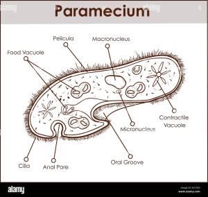 Paramecium Stock Photos & Paramecium Stock Images  Alamy