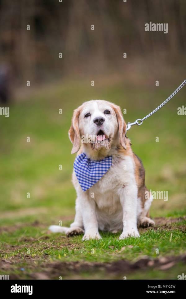 Beagle Adult Stock & - Alamy