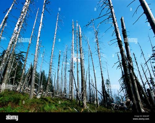 small resolution of acid rain damaged pine trees in the karkonosze national park in silesia poland 2002