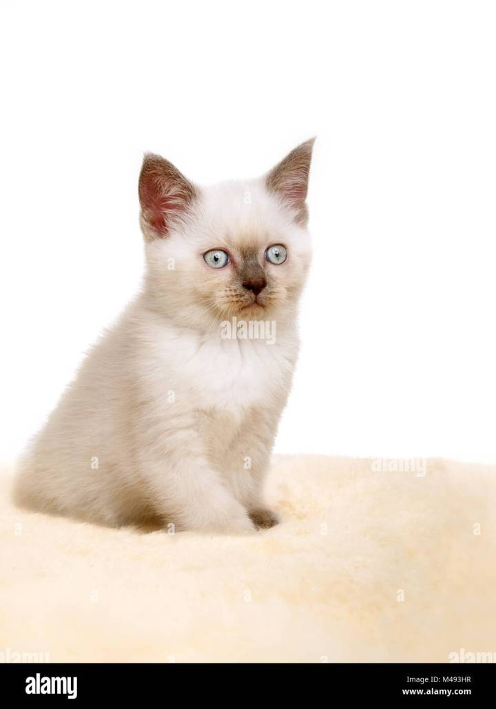 British Shorthair Colorpoint Todayss