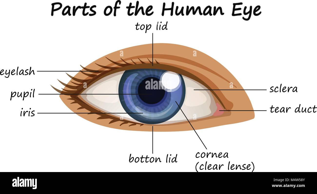 hight resolution of diagram showing parts of human eye illustration