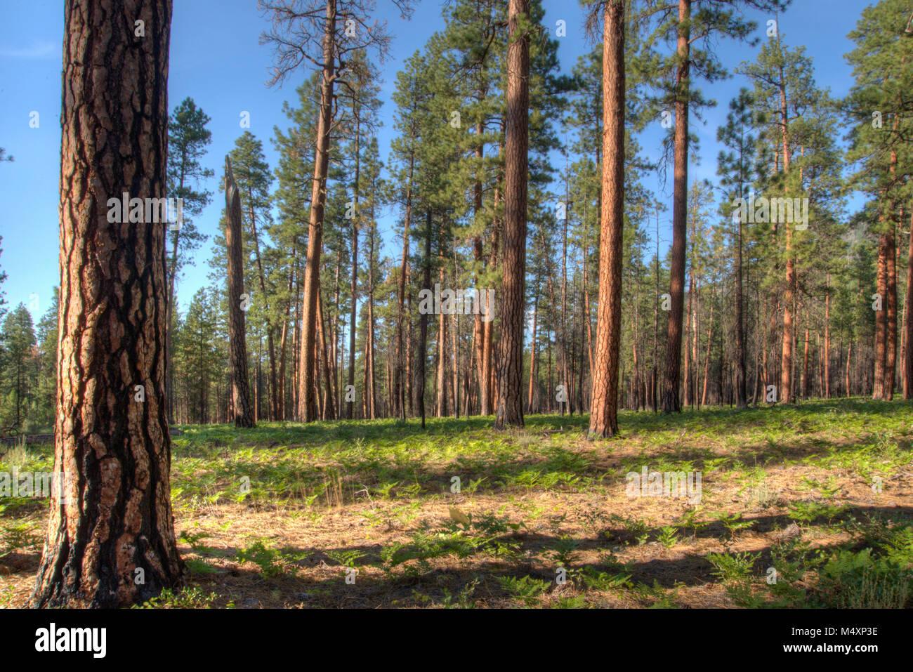 bull pine tree stock