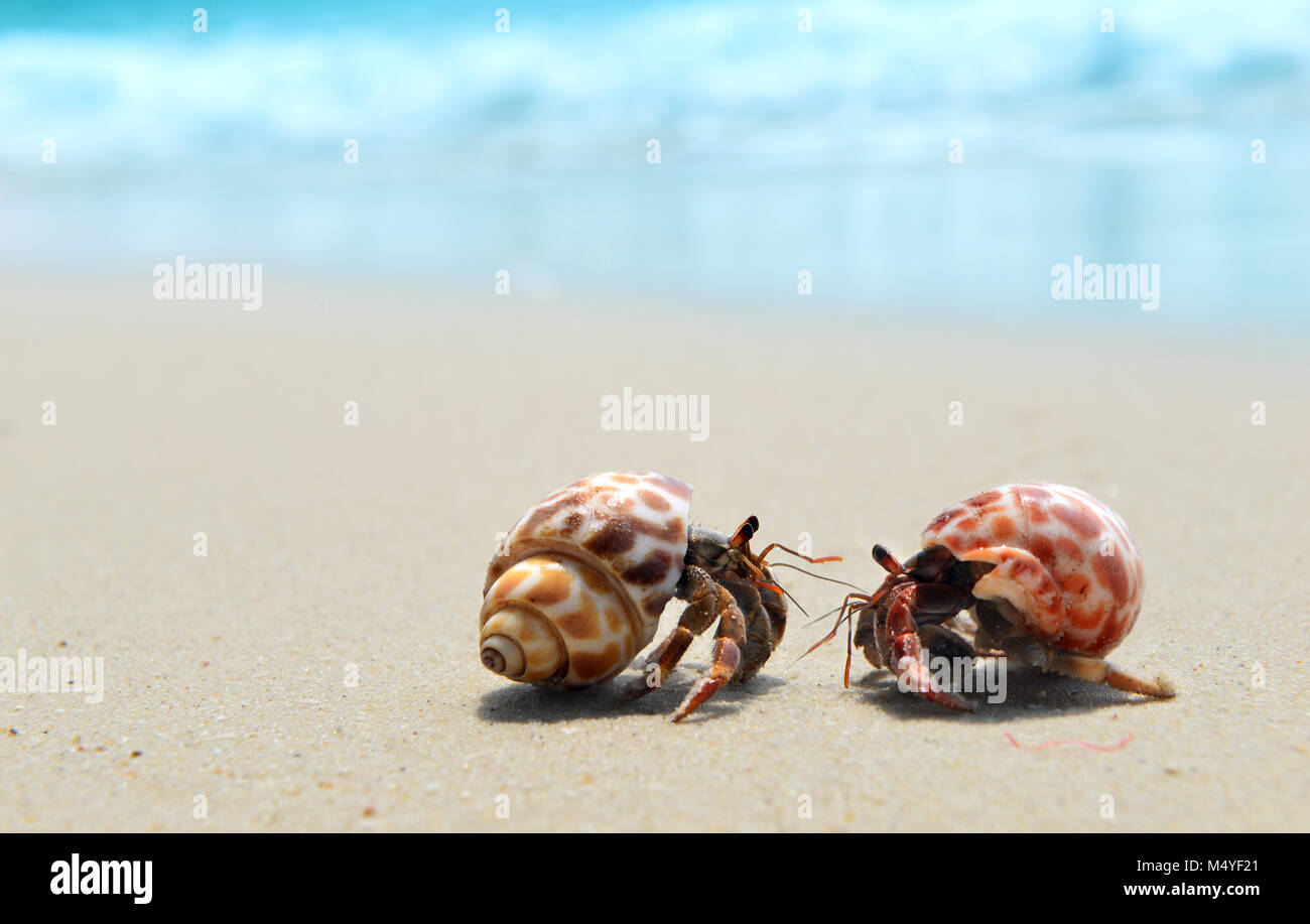 https www alamy com stock photo life of hermit crab on the beach slowly walking on the sand in sun 175166825 html