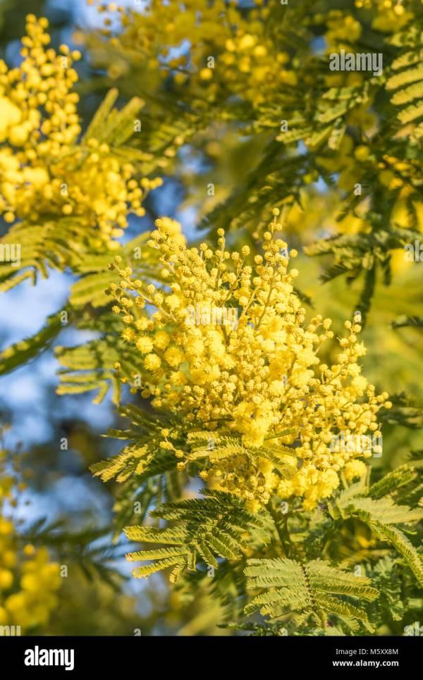 Acacia Dealbata Honey Year Of Clean Water