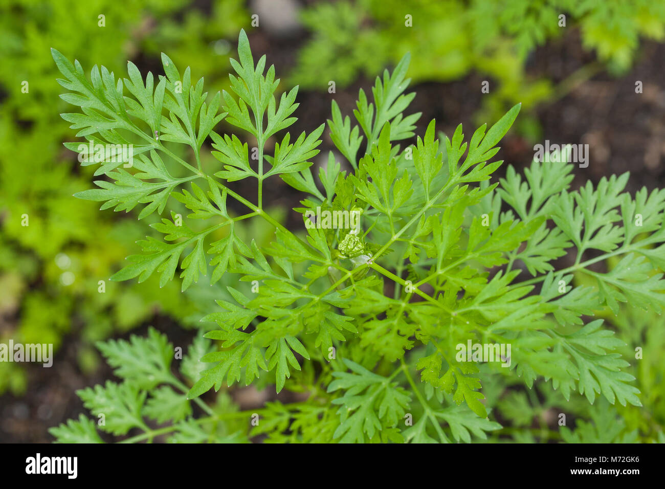 Petersilie Blüte Hundspetersilie, Hunds-petersilie, Blatt, Blätter Vor Der Blüte, Aethusa Cynapium, Fool's Parsley, Fool's Cicely, Poison Parsley, Dog Poison Stock Photo - Alamy