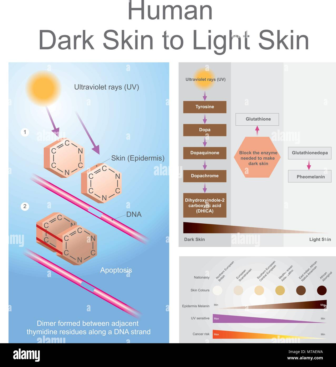 hight resolution of both ultraviolet can damage dan in the skin which can lead to skin cancer
