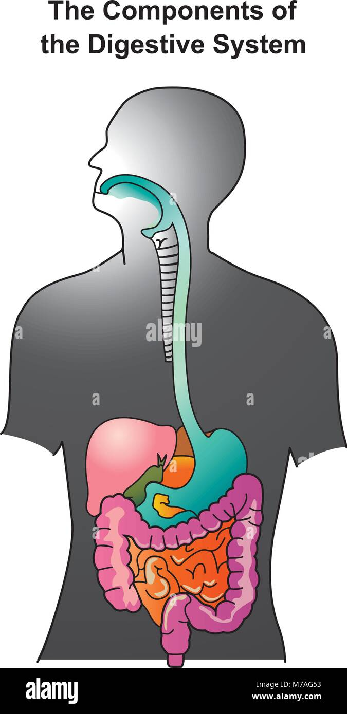 hight resolution of the human digestive system consists of the gastrointestinal tract plus the accessory organs of digestion