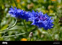 Bright Blue Corn Flowers Stock &