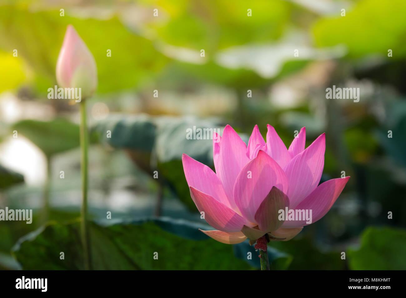 pink lotus flower royalty