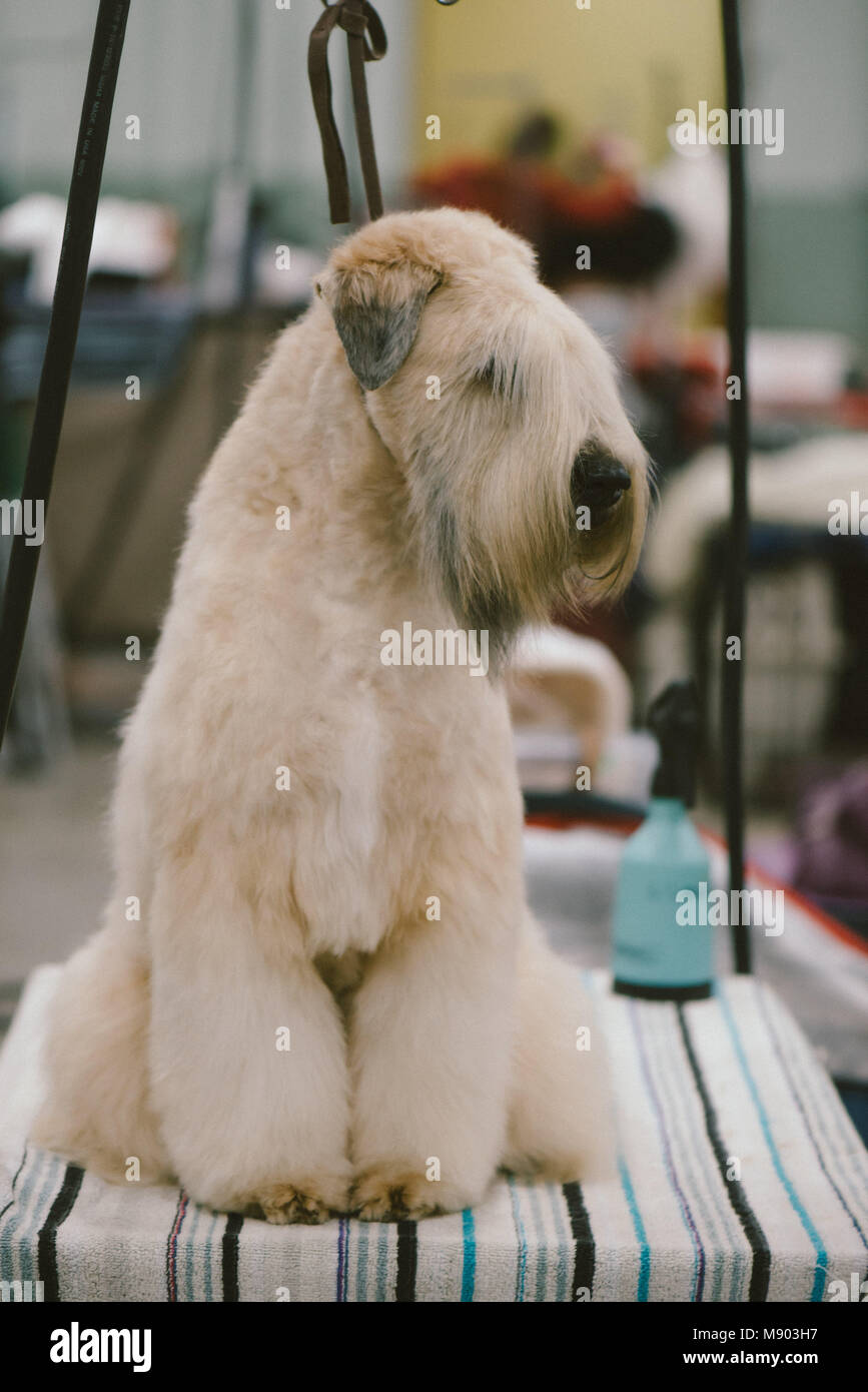 Soft Coated Wheaten Terrier Haircut : coated, wheaten, terrier, haircut, Celtic, Classic, Coated, Wheaten, Terrier, Grooming, Stock, Photo, Alamy