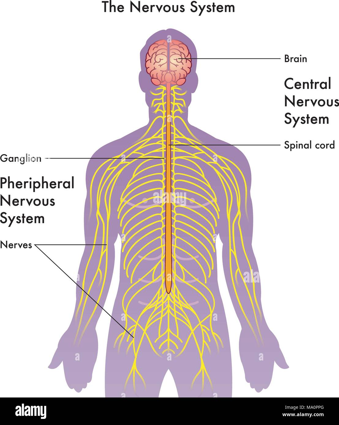 hight resolution of vector medical illustration of the nervous system on a white background stock image