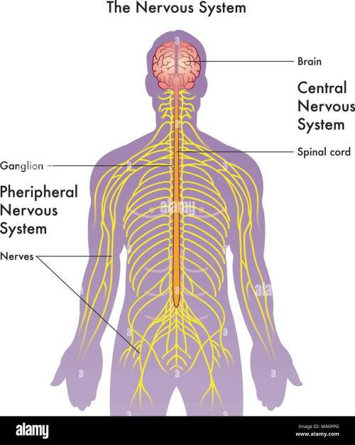 small resolution of vector medical illustration of the nervous system on a white background stock image