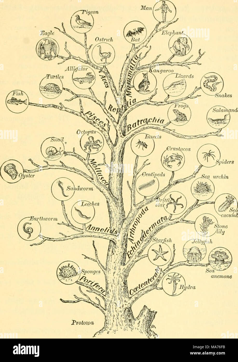 medium resolution of  elementary biology an introduction to the science of life cixcuinhet fig 252 genealogical tree of animal life this diagram is intended to suggest the