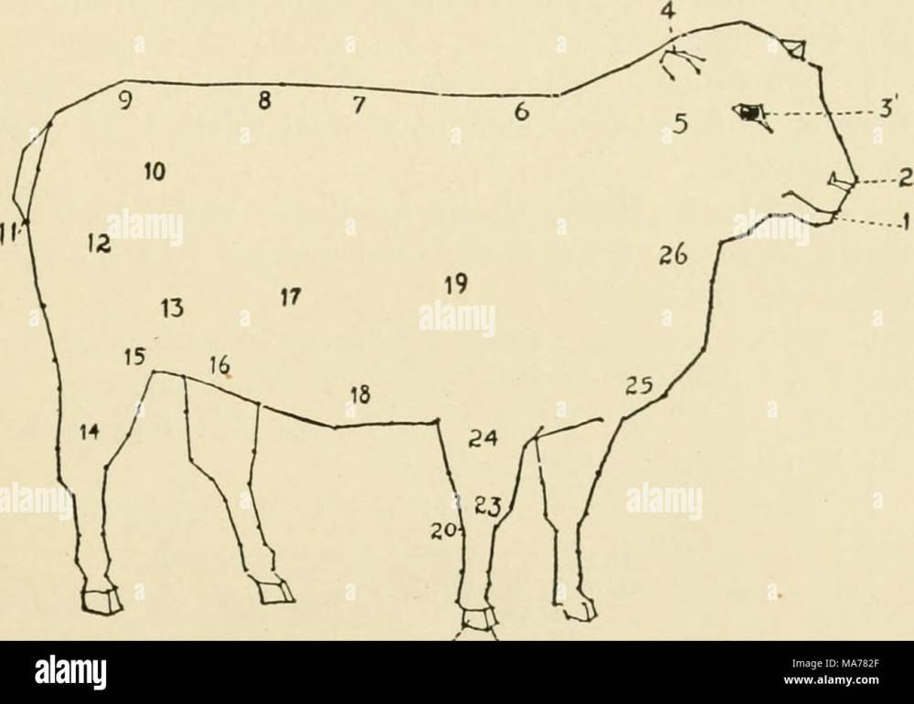 medium resolution of diagram of a sheep 1 muzzle 2 nostril 3 eye 4 ear 5 throat 6 withers 7 back 8 loin 9 rump 10