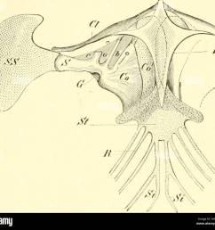 einf hrung in die vergleichende anatomie der wirbeltiere f r studierende fig 9g  [ 1300 x 1200 Pixel ]