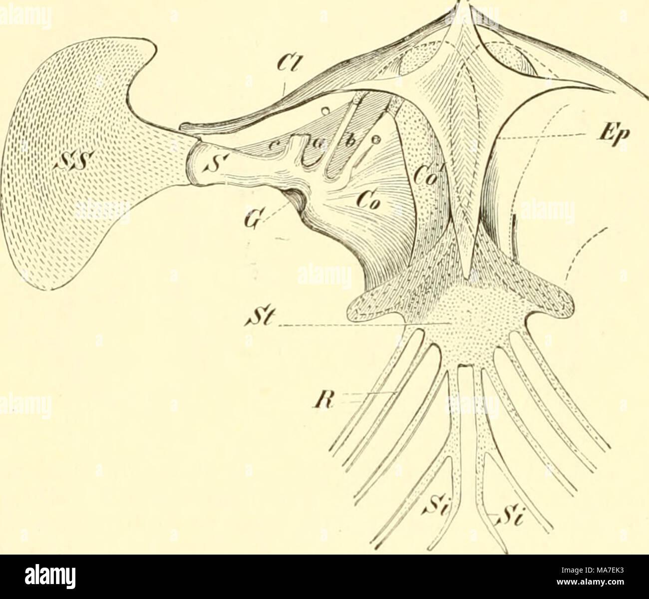 hight resolution of einf hrung in die vergleichende anatomie der wirbeltiere f r studierende fig 9g