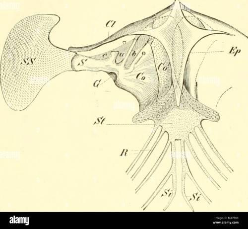 small resolution of einf hrung in die vergleichende anatomie der wirbeltiere f r studierende fig 9g