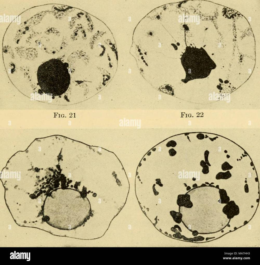 medium resolution of the eggs of mammals fig 23 fig 24 plate ii