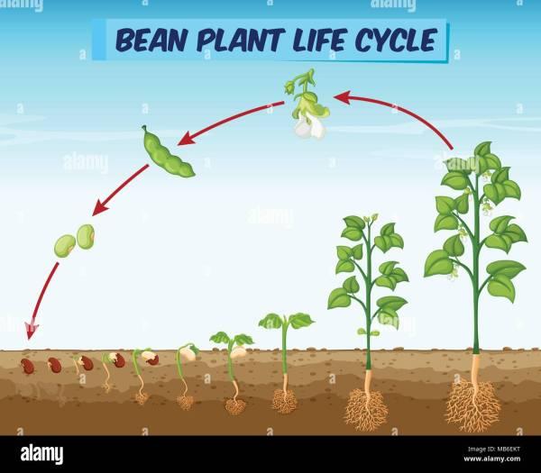 Bean Plant Life Cycle Diagram