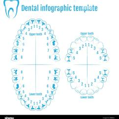 Human Tooth Diagram Warn Winch Solenoid Orthodontist Anatomy Vector With Numbering Of
