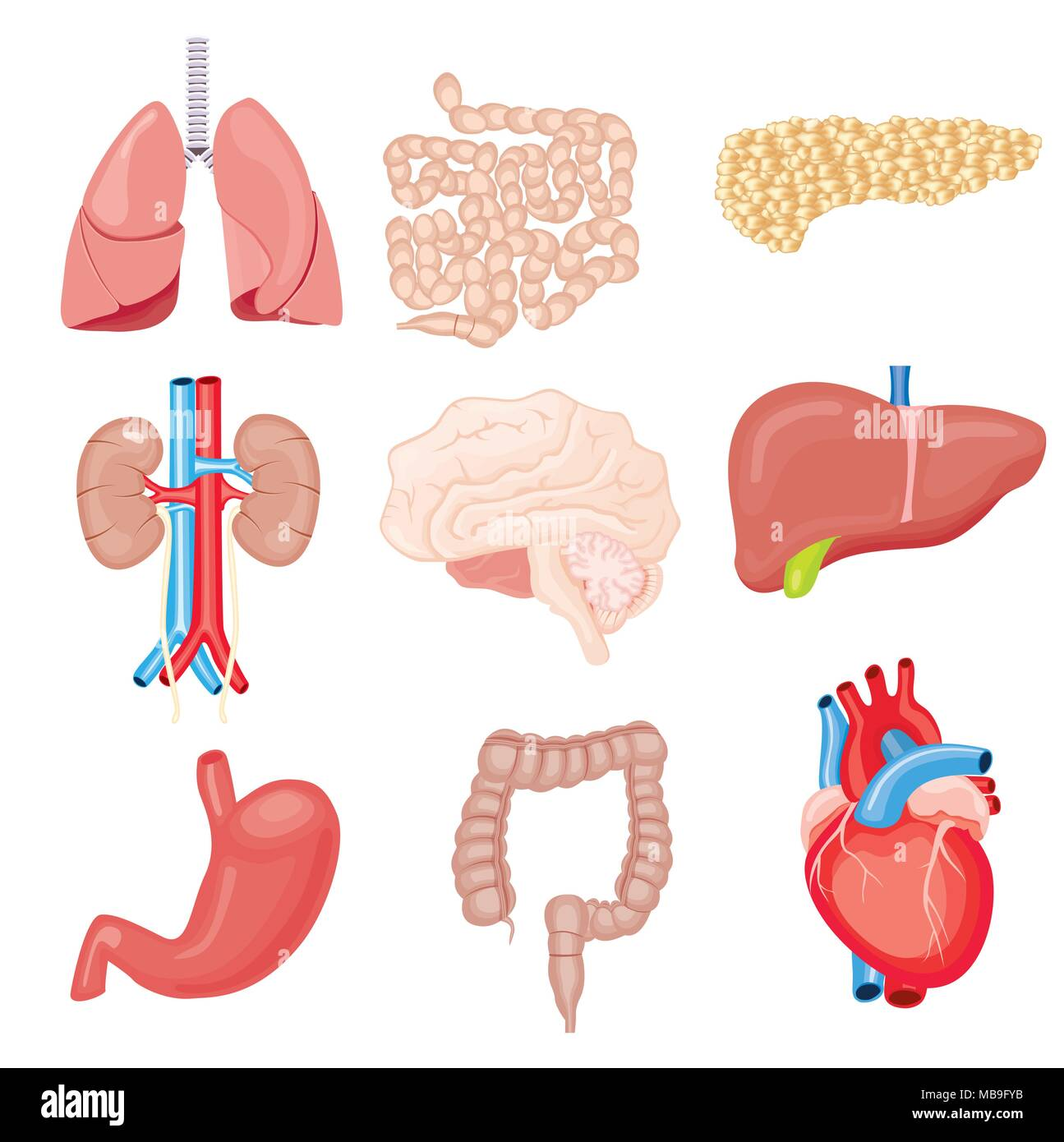 hight resolution of human internal organs isolated on white vector illustration set with heart intestines kidneys stomach