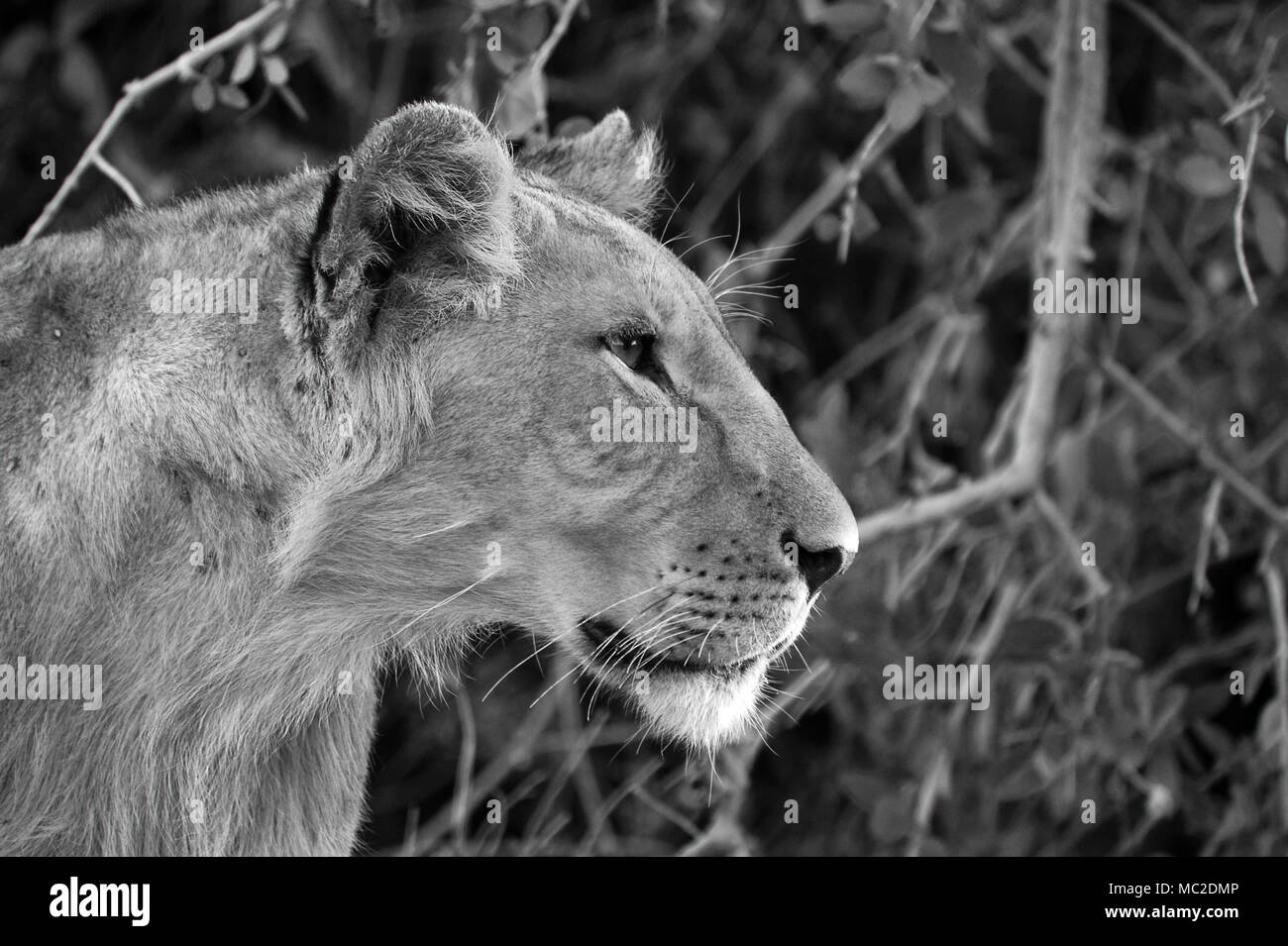 black and white lion
