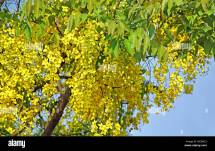 Thailand Yellow Flower Tree Stock &