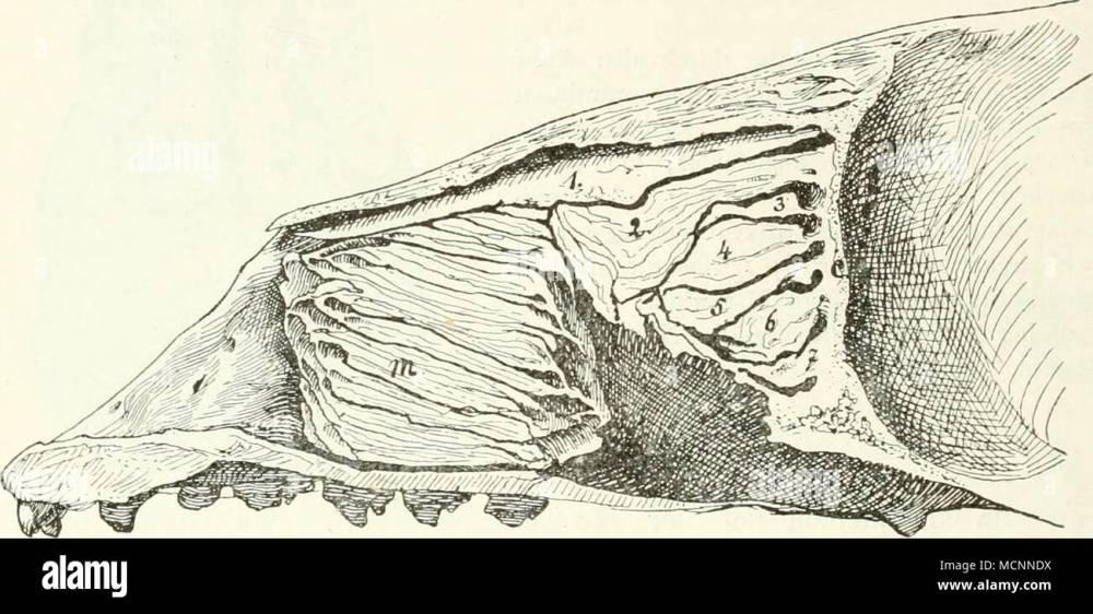 medium resolution of fig llv l ngsschnitt durch die nasenh hle von phoca nasoturbinale 2