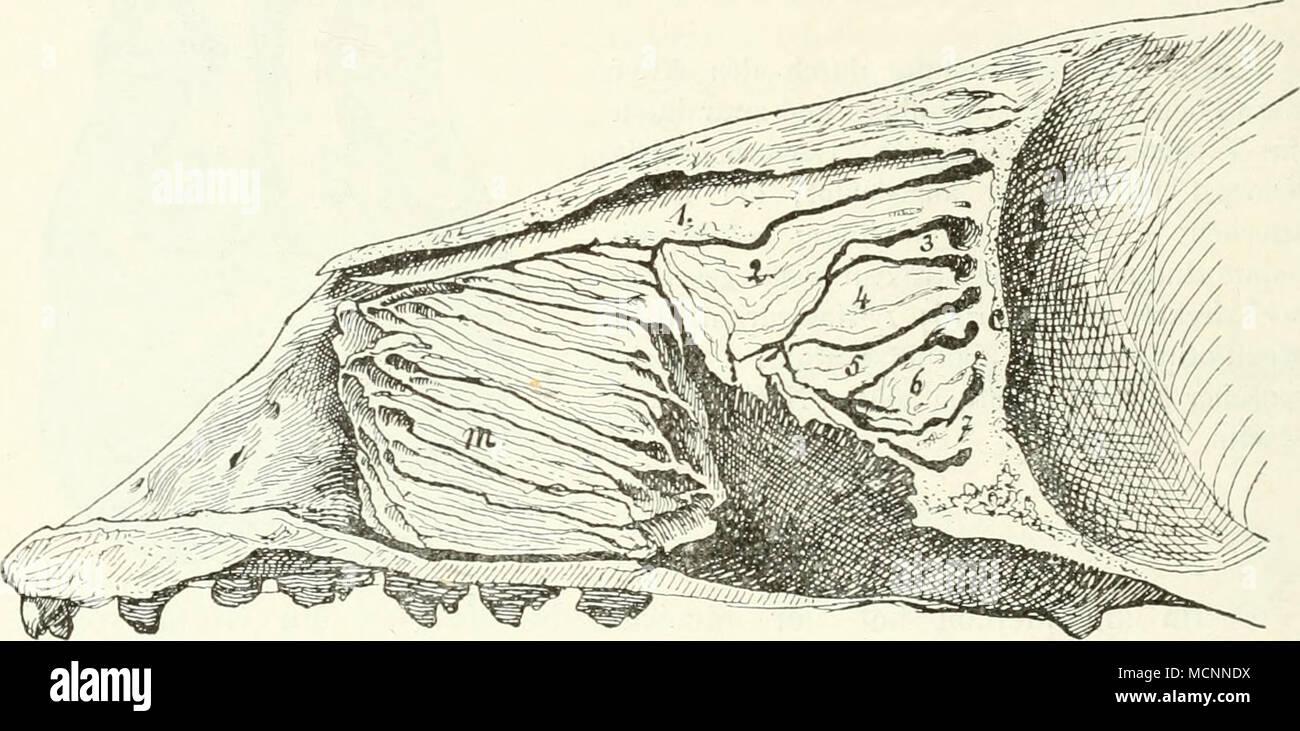 hight resolution of fig llv l ngsschnitt durch die nasenh hle von phoca nasoturbinale 2