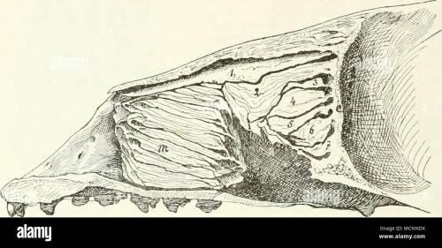 small resolution of fig llv l ngsschnitt durch die nasenh hle von phoca nasoturbinale 2