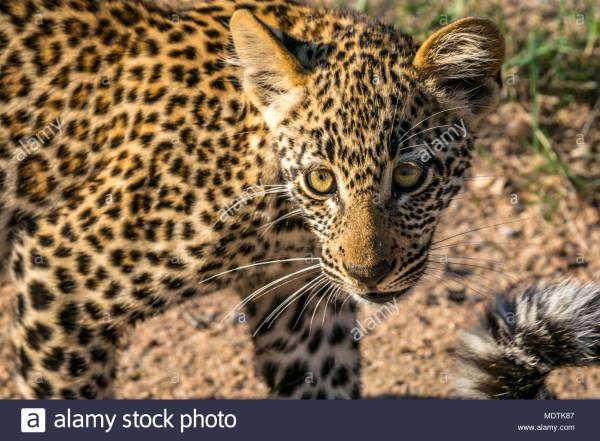 Baby Leopard Face