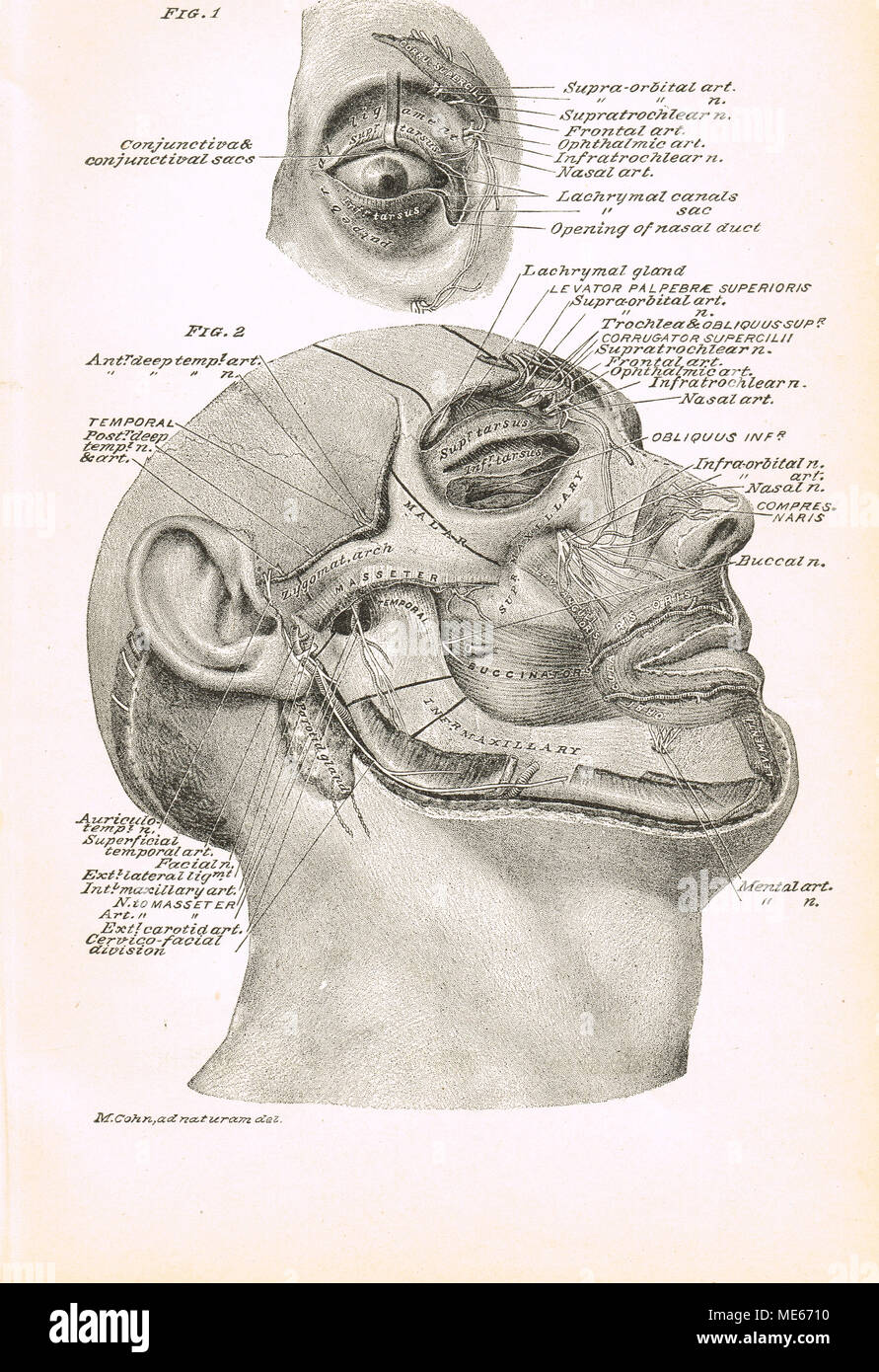 hight resolution of 19th century facial cross section stock image