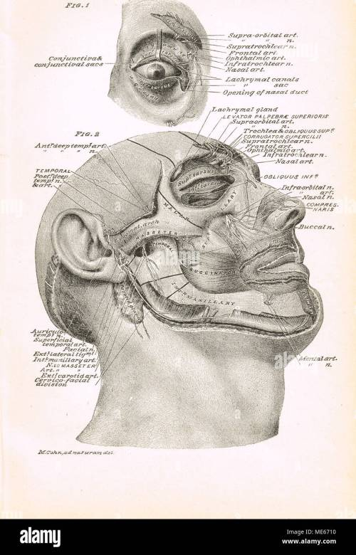 small resolution of 19th century facial cross section stock image